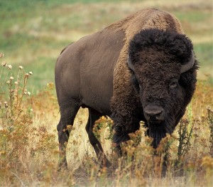 photo d'un beau bison
