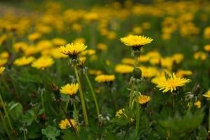photo de pissenlits en fleur dans un champ