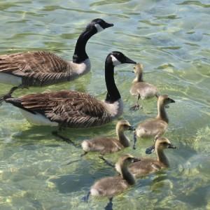 Photo de Bernaches et petits dans les eaux claires de la Semois.