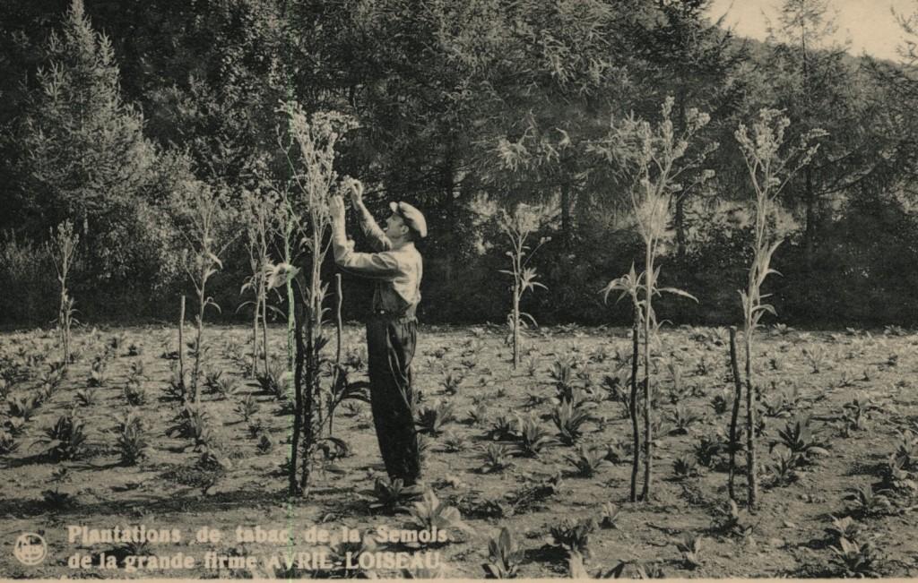 Arbres au milieu de plants de tabacs