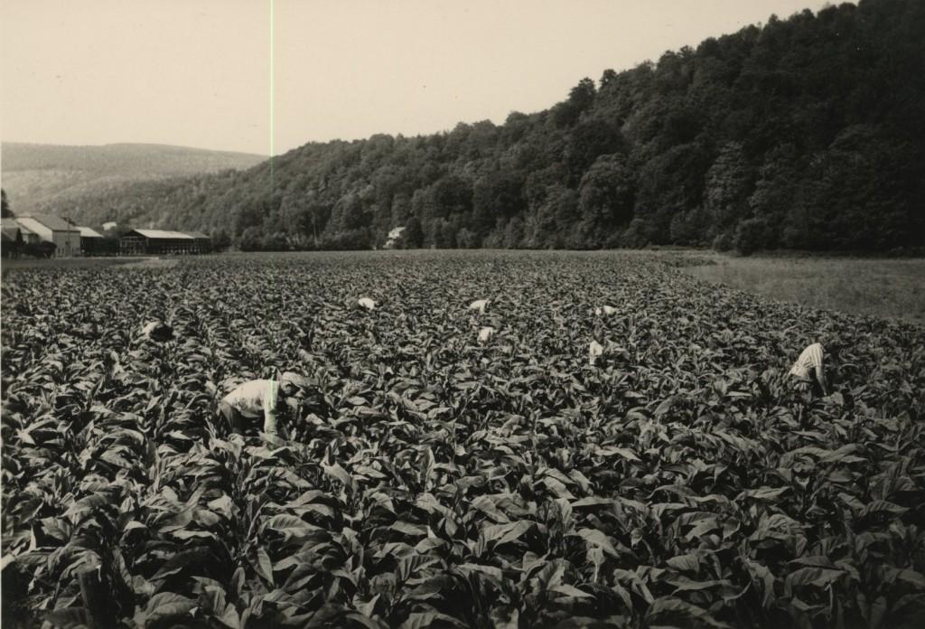 Planteurs de tabac dans champ